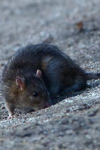 solution contre les rats Montry