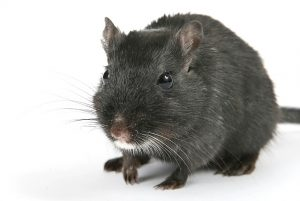 solution contre les rats Nandy